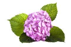 Hydrangea flower. Hydrangea isolated on white background Stock Photos