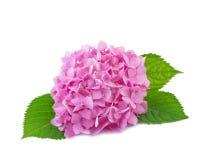 Hydrangea flower isolated on white Stock Photos