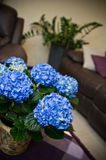 Hydrangea flower in a living room Stock Photos