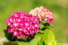 Hydrangea flower of magenta color. Shot with harsh light and shallow depth of field stock photo