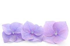 Hydrangea flower parts. Parts of the purple hydrangea flower on a white background stock images