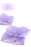 Hydrangea flower parts. Parts of the purple hydrangea flower on a white background in vertical position stock photos