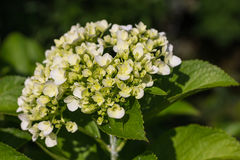 Hydrangea Flower Stock Images