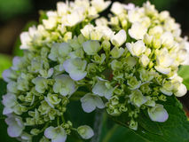 Hydrangea Flower. This photo was taken in Yamaguchi Prefecture, Japan. Hydrangea Flower is one of the summer flower blooming in Japan during July Stock Images