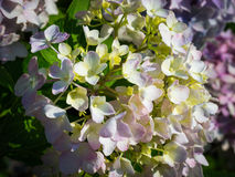 Hydrangea Flower. This photo was taken in Yamaguchi Prefecture, Japan. Hydrangea Flower is one of the summer flower blooming in Japan during July Stock Photography