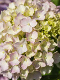Hydrangea Flower. This photo was taken in Yamaguchi Prefecture, Japan. Hydrangea Flower is one of the summer flower blooming in Japan during July Royalty Free Stock Images