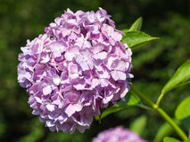 Hydrangea Flower. This photo was taken in Yamaguchi Prefecture, Japan. Hydrangea Flower is one of the summer flower blooming in Japan during July Stock Photos