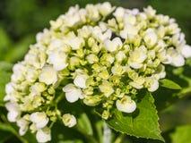 Hydrangea Flower Stock Photography