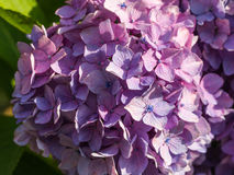 Hydrangea Flower. This photo was taken in Yamaguchi Prefecture, Japan. Hydrangea Flower is one of the summer flower blooming in Japan during July Stock Photo
