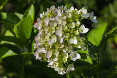 Hydrangea Flower. This photo was taken in Yamaguchi Prefecture, Japan. Hydrangea Flower is one of the summer flower blooming in Japan during July Stock Image