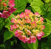 Hydrangea, Flower, Pink Hydrangea Stock Images