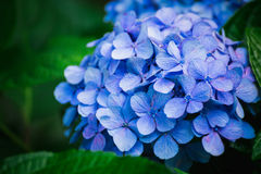 Hydrangea Flower. Stock Images
