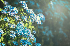 Hydrangea Flower. Hydrangea Flower of Rainy season, Japan Stock Photo