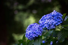 Hydrangea Flower. Hydrangea Flower of Rainy season, Japan Royalty Free Stock Photo