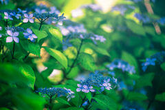 Hydrangea Flower. Hydrangea Flower of Rainy season, Japan Stock Images