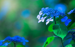 Hydrangea Flower. Hydrangea Flower of Rainy season, Japan Stock Photography