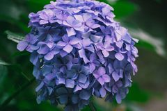 Hydrangea flower. Of Rainy season, Japan Stock Photos