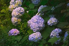Hydrangea flower. Of Rainy season, Japan Stock Photography
