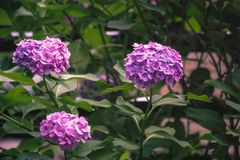 Hydrangea flower. Of Rainy season, Japan Stock Photo