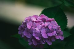 Hydrangea flower. Of Rainy season, Japan Royalty Free Stock Photos