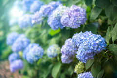 Hydrangea Flower of Rainy season, Japan. Hydrangea Flower known as the sign of rainy season coming in Japan Royalty Free Stock Photography
