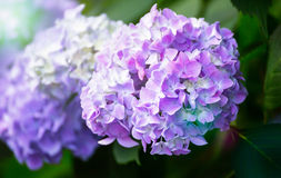 Hydrangea Flower of Rainy season, Japan. Hydrangea Flower known as the sign of rainy season coming in Japan Stock Photo