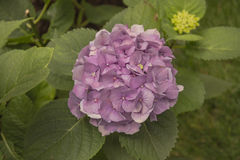 Hydrangea Flower violet color. Picture of beautiful Hydrangea Flower with violet petals stock photos
