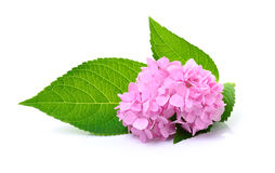 Hydrangea flower on white background Royalty Free Stock Photos