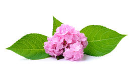 Hydrangea flower on white background Stock Photography