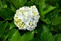 Hydrangea flower Royalty Free Stock Images