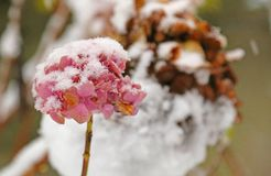 Hydrangea flower white snow-covered in winter Stock Photos