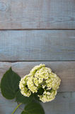 Hydrangea flower on a wooden blue background. Stock Photos
