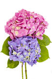 Hydrangea flowerheads, Hydrangea macrophylla Royalty Free Stock Photo