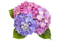 Hydrangea flowerheads, Hydrangea macrophylla Royalty Free Stock Photography