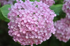 Hydrangea flowers. With shallow dof for natural background Stock Images
