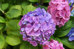 Hydrangea flowers. Beautiful blooming lilac and pink hydrangea flowers Royalty Free Stock Photo