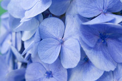 Hydrangea flowers. Close up of blue Hydrangea flowers Stock Images