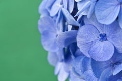 Hydrangea flowers. Blue Hydrangea flowers in front of green background Stock Photo