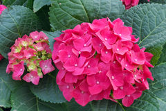 Hydrangea flowers. The close-up of pink Hydrangea flowers royalty free stock images