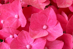 Hydrangea flowers. The close-up of pink Hydrangea flowers stock photos