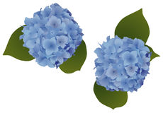 Hydrangea Flowers. Two  illustrations of two blue hydrangea plants Royalty Free Stock Images