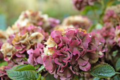 Hydrangea flowers in autumn Stock Image