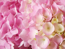 Hydrangea flowers background Royalty Free Stock Images
