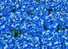 Hydrangea Flowers Background stock image