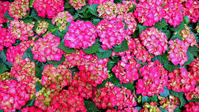 Hydrangea flowers Stock Photos