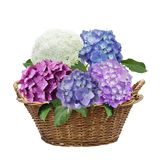 Hydrangea flowers in a basket. Isolated on white background Stock Image