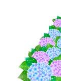 Hydrangea flowers  Stock Image