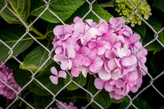 Hydrangea Flowers Behind Bars Stock Photography