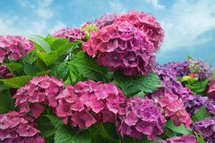 Hydrangea flowers in bloom Stock Photography