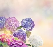 Hydrangea flowers in the garden royalty free stock image